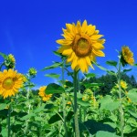 20140715-sunflower